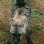 Un bébé hyène