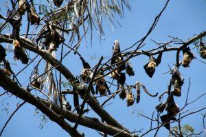 Des chauves-souris