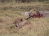 Deux jeunes lionnes