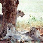 Groupe de lions