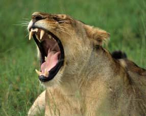 Le rugissement d'un lion