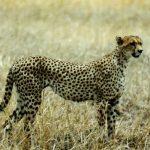 Présence d'un guépard : rare