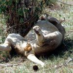 Lion endormi