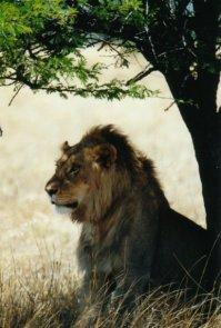 Un lion !