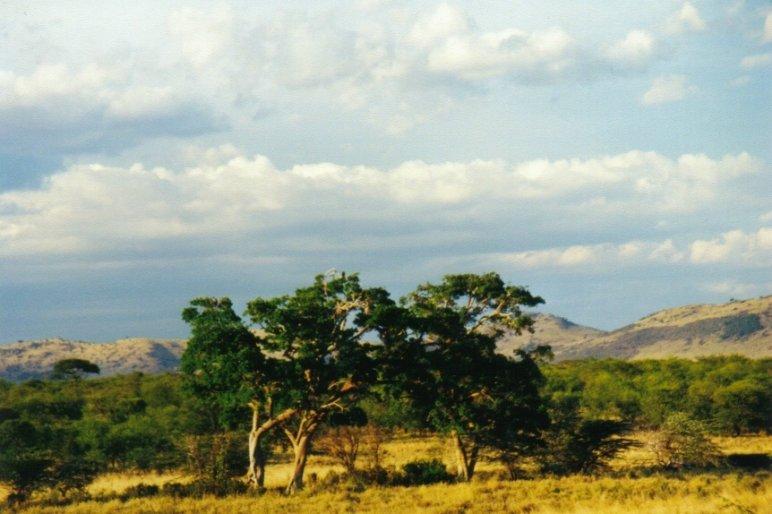 Acacia du Ngorongoro