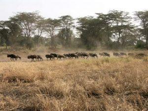Migration dans le Serengeti