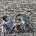 Babouins dans le parc de Tarangire