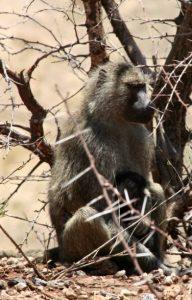 Babouin dans le parc de Tarangire