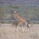 Girafe à Nakuru