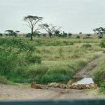 Meute de lionnes