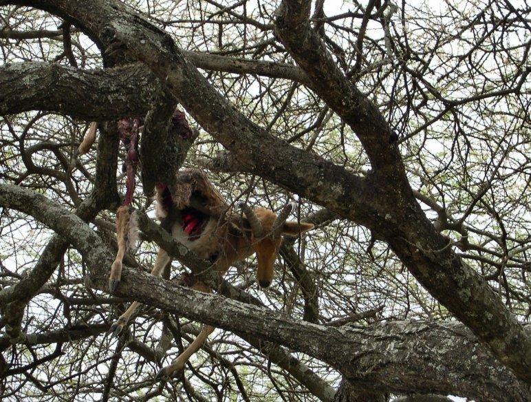 Un jeune léopard allait prendre sa proie