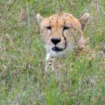Quel budget en safari ?