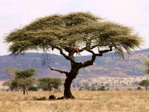 Un arbre dans le Serengeti
