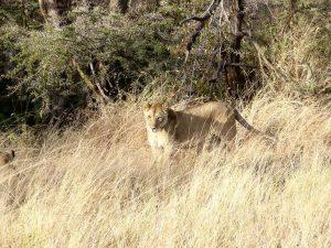 Une lionne en chasse