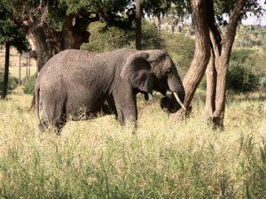 Un éléphant dans le Tarangire