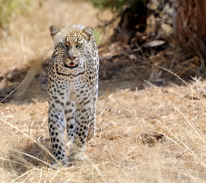 Un léopard !