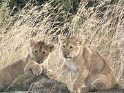 Des lionceaux