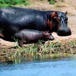 Un hippopotame et son petit