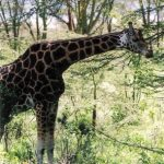 Une superbe girafe
