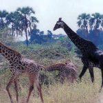 Une girafe de couleur noire