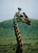 Le long cou de la girafe