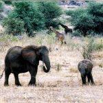 Girafes et éléphants
