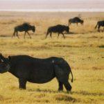 Rhinocéros et gnous