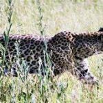 Un jeune léopard