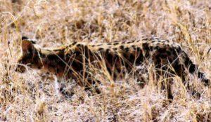 Instant rare ! Un serval