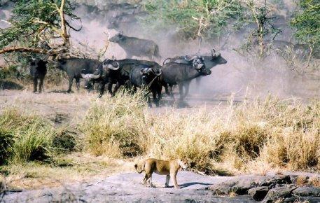 Lions et buffles